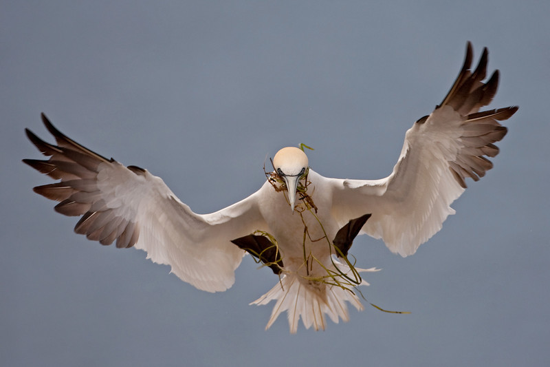 NORTHERN GANNET WITH NESTING MATERIAL, BONAVENTURE ISLAND, QUEBEC, CANADA