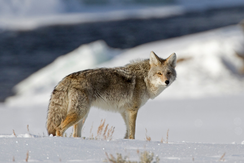 COYOTE IN YELLOWSTONE, WY, USA