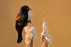 REDWINGED BLACKBIRD, BC, CANADA