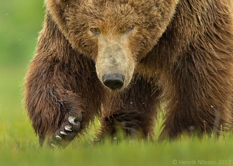 KATMAI BROWN BEAR, ALASKA, USA