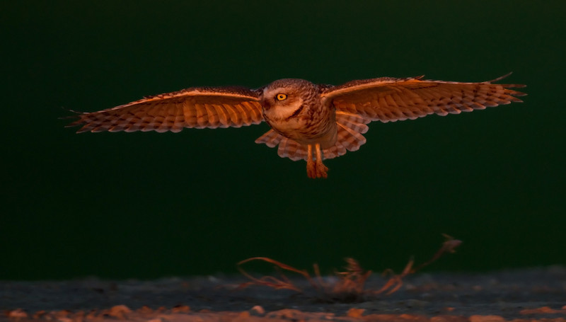 BURROWING OWL IN LAST LIGHT, WASHINGTON STATE, USA