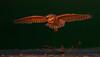 BURROWING OWL IN LAST LIGHT, WASHINGTON STATE, USA