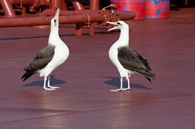 Laysan Albatrosses on deck,always a worry when they land as will they be able to get off again?Still its a real treat to see these fantastic birds..Do not buy Tuna that is long line caught as it kills a lot of them off