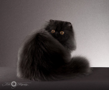 Persians / Exotic Shorthairs