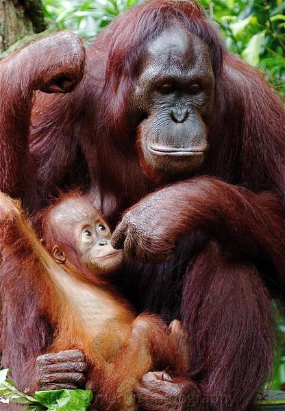 Motherly Love, Singapore Zoo