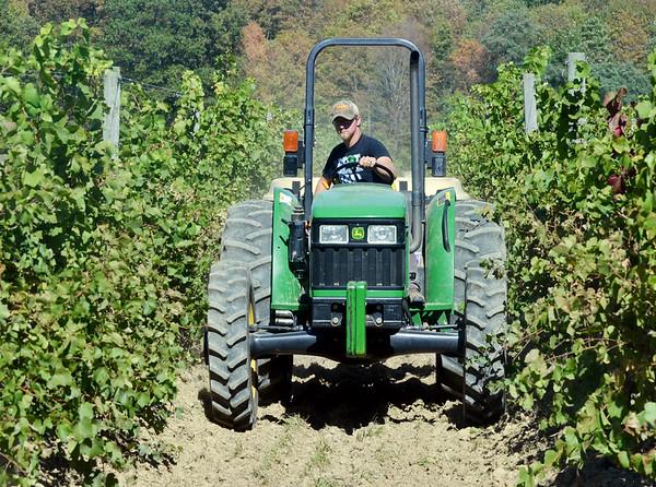 1004 grape harvest 2