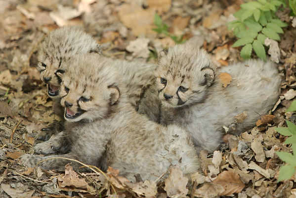 3 cubs, 4 weeks and one day old (all in all there were 5 cubs, all males).
