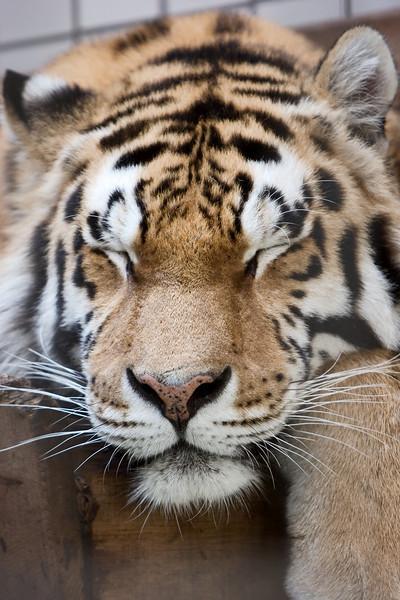 Amurtiger/Siberian Tiger