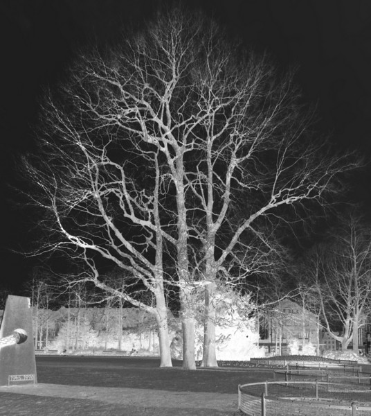 B/W Negative of these trees in daylight.