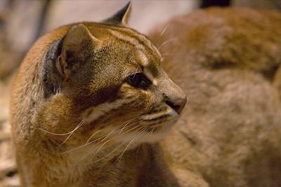 Asiatische Goldkatze (Temminck's Golden Cat): Kater (male): Lao