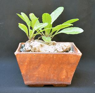 Kleinia abyssinica var. hildebrandtii