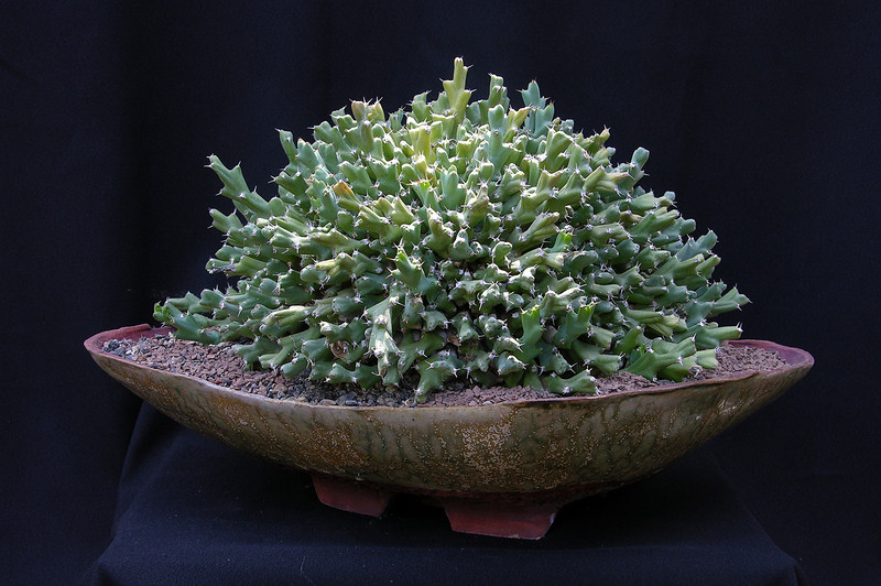 Euphorbia clivicola