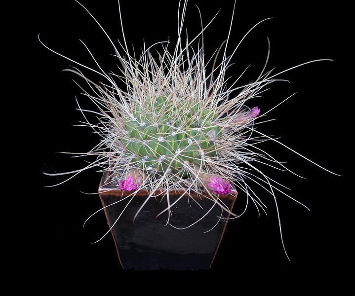 Echinopsis (Lobivia) longispina