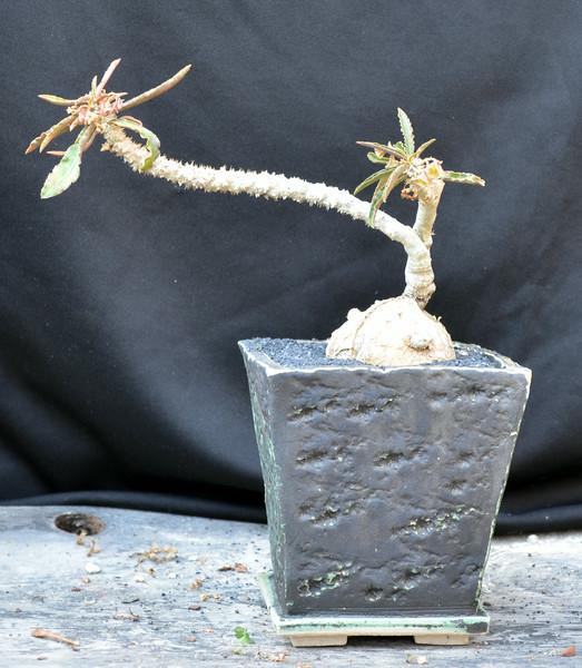Euphorbia suzannae-marnier