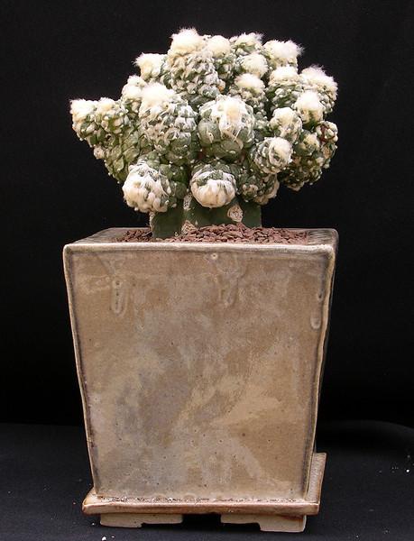 Ariocarpus retusus v furfuraceus monstrose