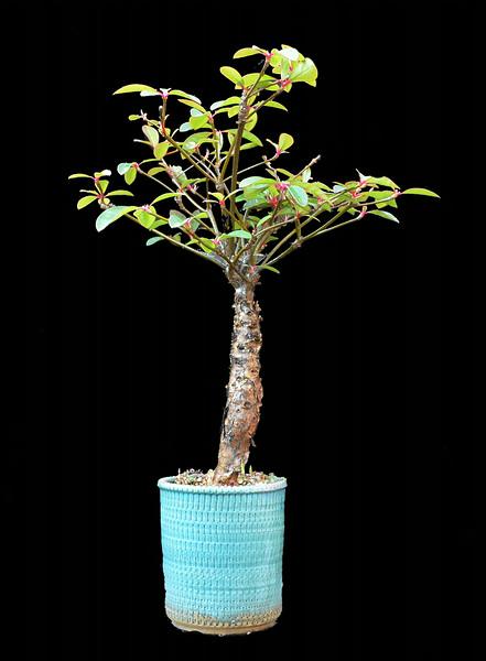 Euphorbia bongolvensis