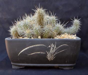 Echinocereus barthelowanus