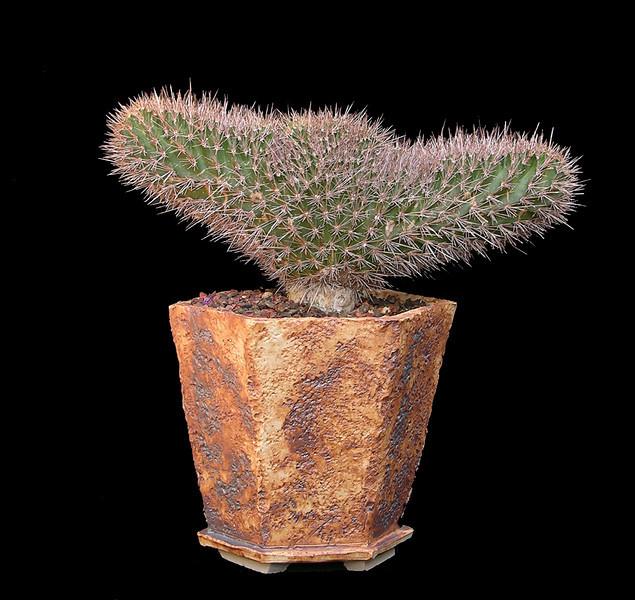 Jasminocereus thouarsii crest