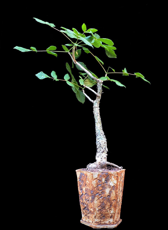 Commiphora guillauminii