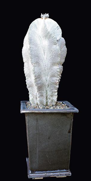 Astrophytum myriostigma Tulense