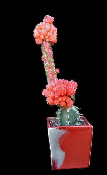Myrtillocalycium 'Pollop' 2015
