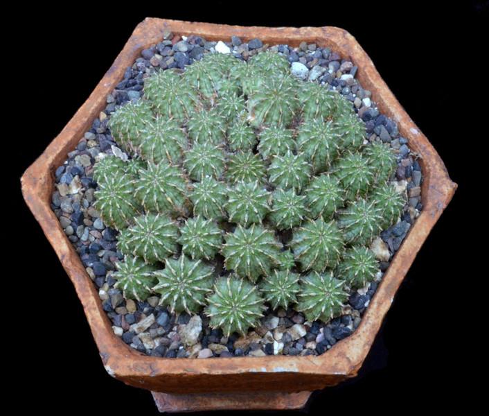 Euphorbia septulta