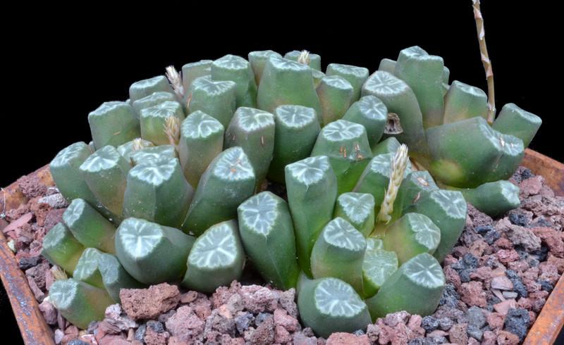 Haworthia maughani