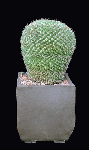Mammillaria lloydii