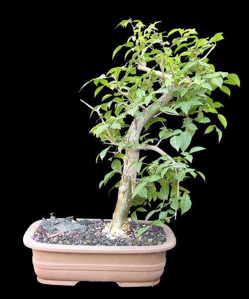 Commiphora abyssinica