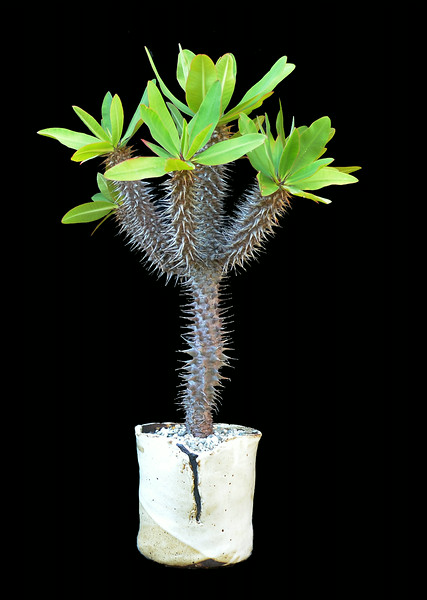 Euphorbia species Madagascar