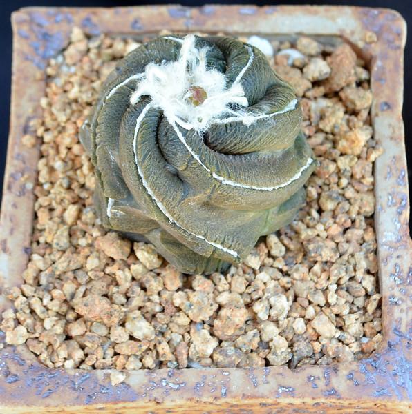 Copiapoa hypogaea 'Lizard Skin' spiral crest