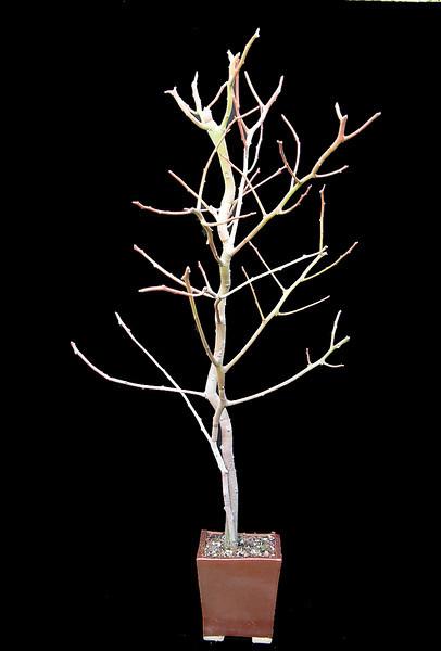 Euphorbia camponii