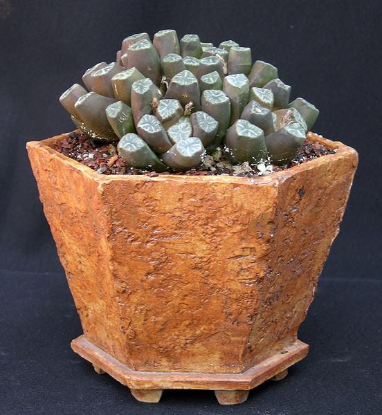 Haworthia truncata var maughanii