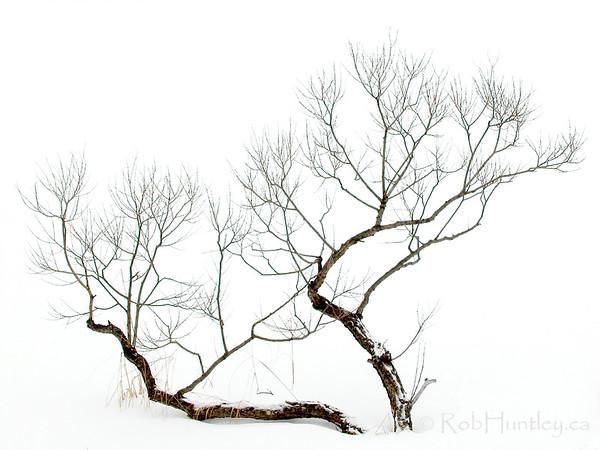 Winter Bonsai. Photograph - Small gnarled tree on snowy background, giving the impression of a Japanese Bonsai tree in winter. © Rob Huntley