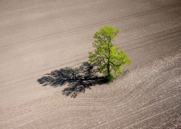 A lone tree in a newly seeded corn field. Richmond, Ontario dairy farm.