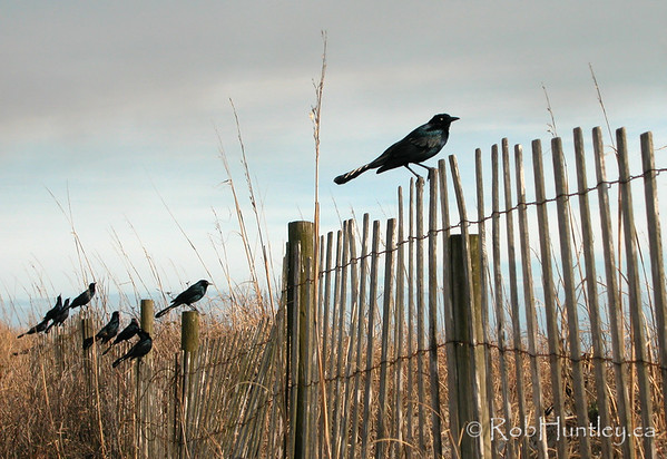 Grackles on sand dune fence. Pawleys Island, South Carolina © Rob Huntley