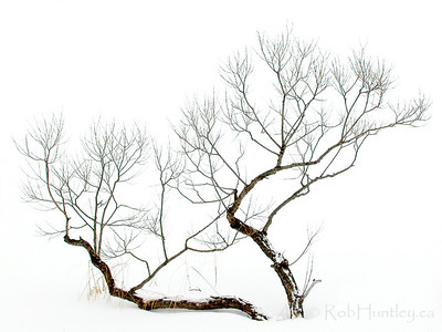 Winter Bonsai. Small gnarled tree on snowy background, giving the impression of a Japanese Bonsai tree in winter.