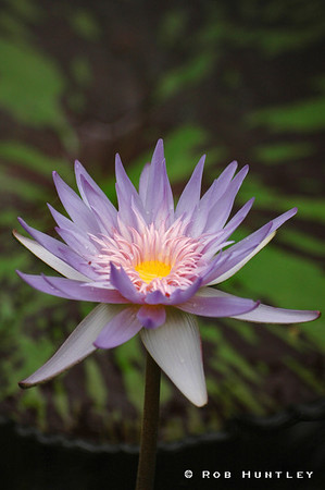 Mauve Water Lily, Wisley Gardens, England