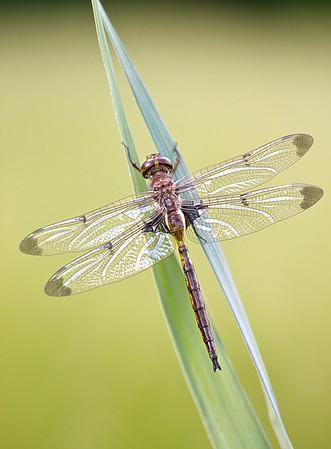 Prince Baskettail Dragonfly