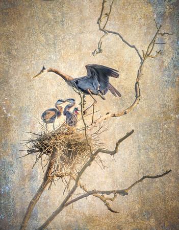 Blue Heron and Babies