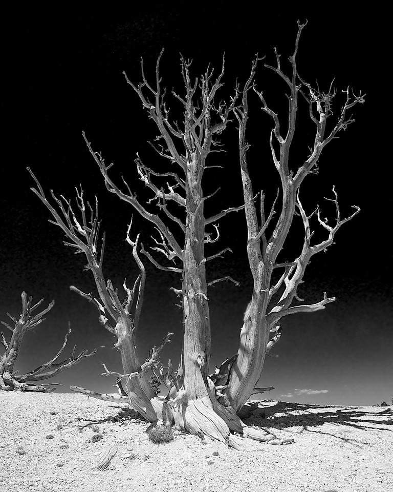 Limber Pine, Bryce Canyon
