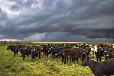 Cattle Vortex - II