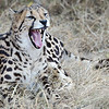 July 2012 - De Wildt Cheetah Park, Gauteng, South Africa