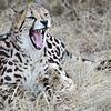 July 2012 - De Wildt Cheetah Park, Gauteng, South Africa