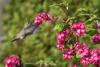 Apr 2017 - Hummingbird, Vancouver