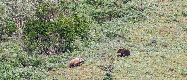 Most likely siblings. Interesting to see the darker toned grizzly.