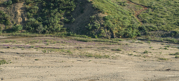 Grizzly (far left middle) stalking caribou (far right bottom)