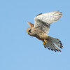 Kestrel Dungeness March 2013