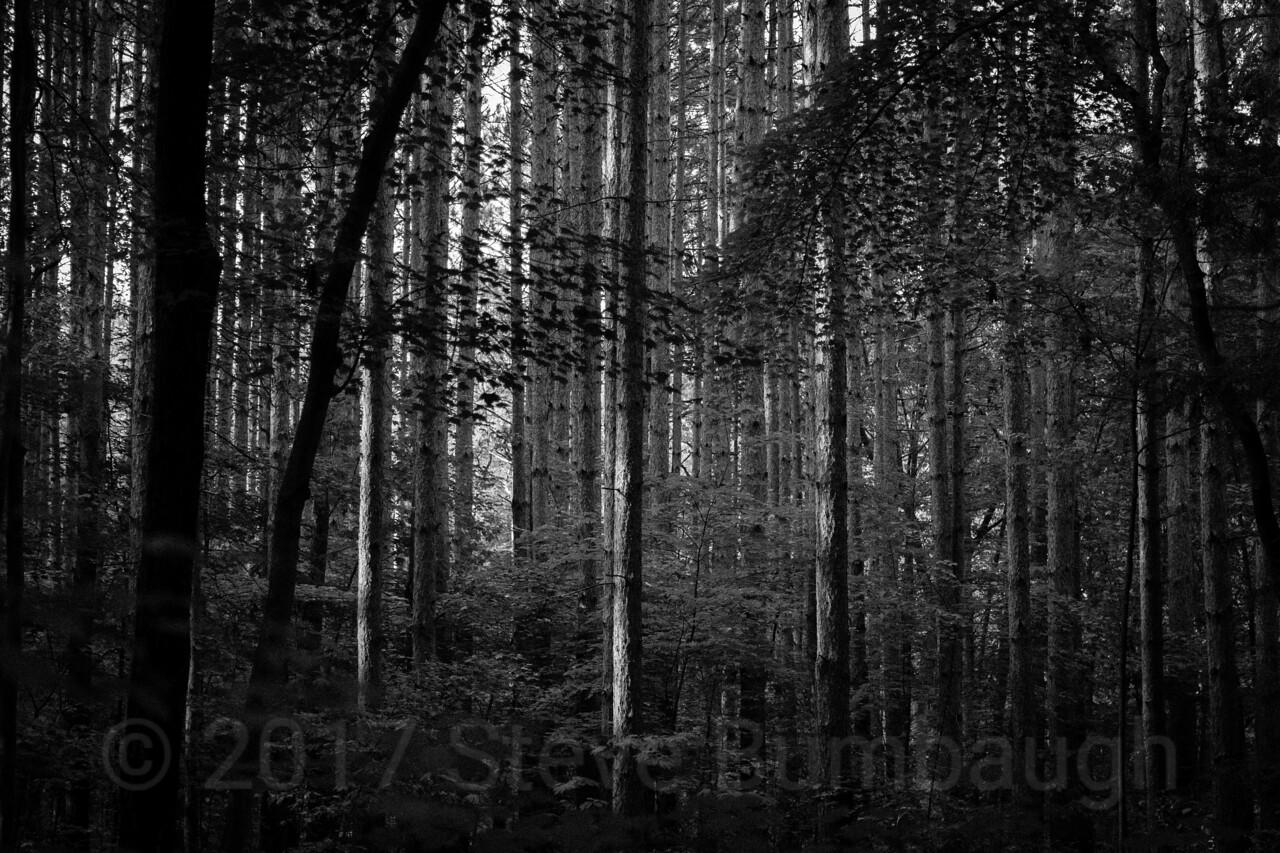 Pine Forest (B&W)
