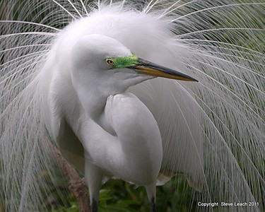 Great White Egret in Mating Display